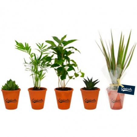 Plante dépolluante en pot terre cuite 10cm